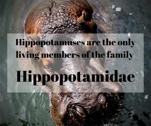 Hippopotamidae