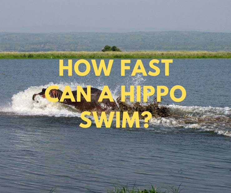 how fast can a hippo swim
