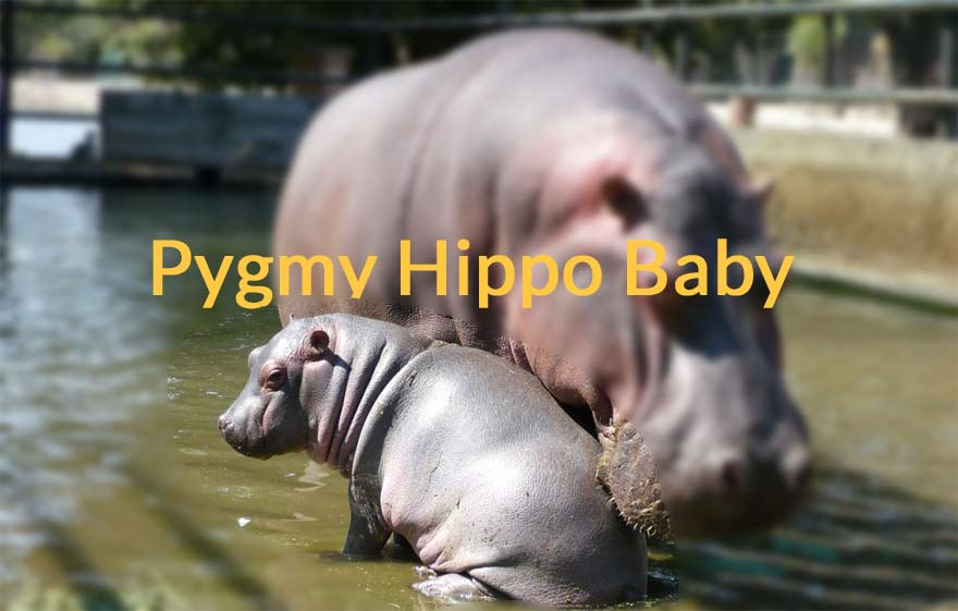 pygmy-hippo-baby