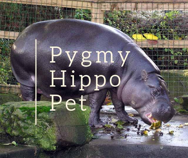 pygmy-hippo-pet