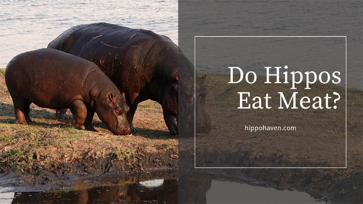 do hippos eat meat