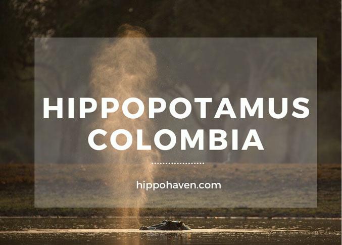 Hippopotamus Colombia