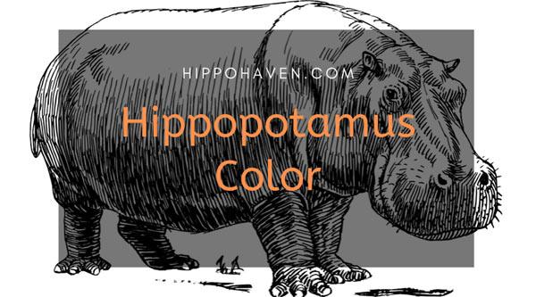 Hippopotamus-Color