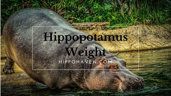Hippopotamus-Weight