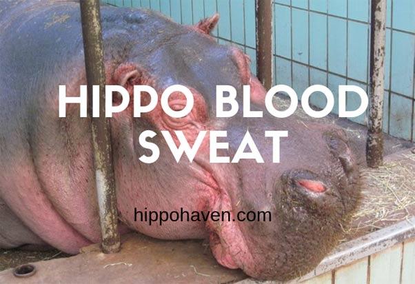hippo-blood-sweat