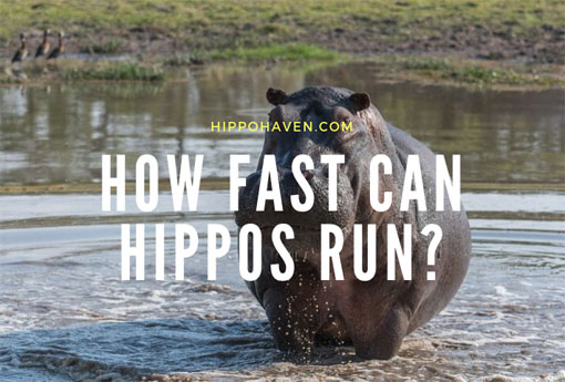 how-fast-can-hippos-run