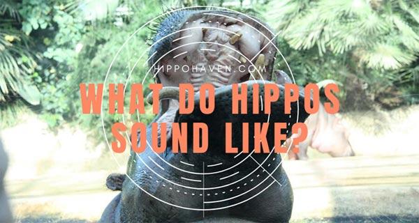 what do hippos sound like
