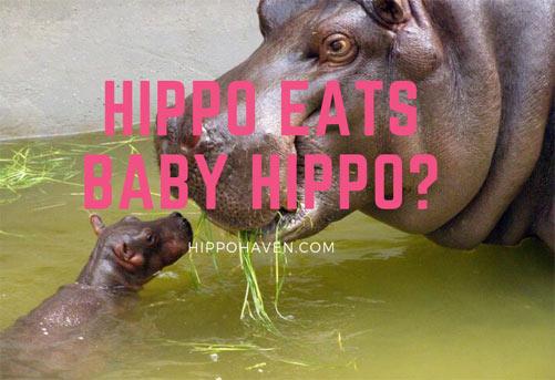 hippo eats baby hippo