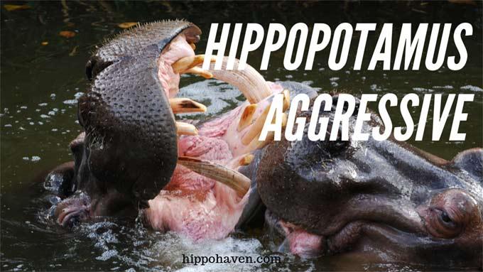 hippopotamus-aggressive