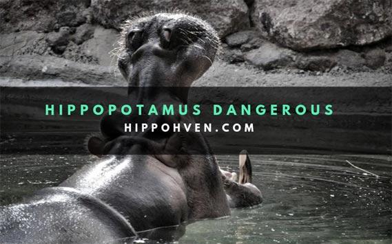 Are hippopotamus dangerous?