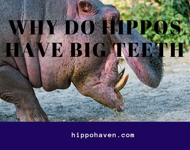 why do hippos have big teeth