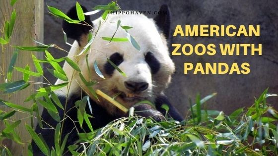 american zoos with pandas us zoos with pandas giant pandas in the us pandas in us zoos 2019 us national zoo zoos that have pandas in the us giant pandas in us zoos panda in us zoos giant panda zoo USA panda bears in us zoos panda bear us zoo